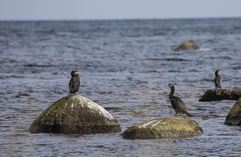 Havet - Fåglar
