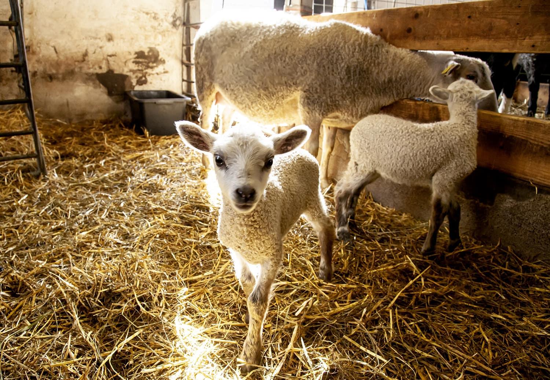 Nyhetsbrev med lamm